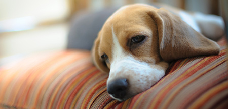 beagle-on-sofa