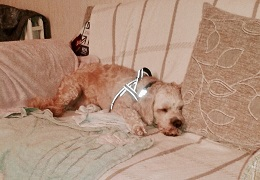 Dorset-Teddy